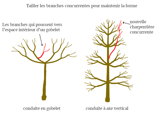 conduite branches concurrente charpentière permaculture taille fruitiers