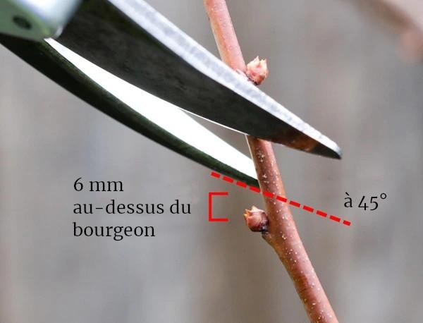 coupe 6mm au dessus du bourgeon taille arbre oeil à bois