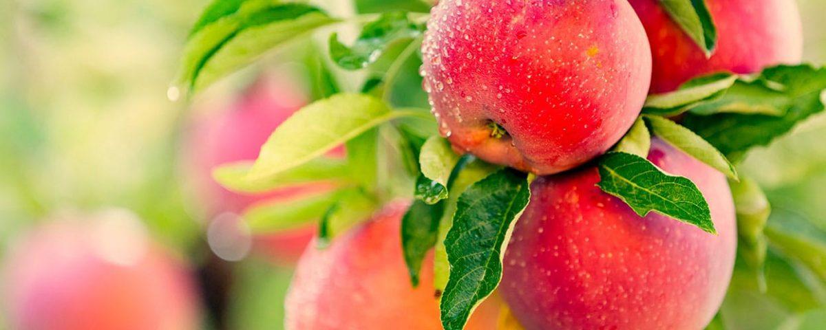 taille des arbres fruitiers en permaculture_bis