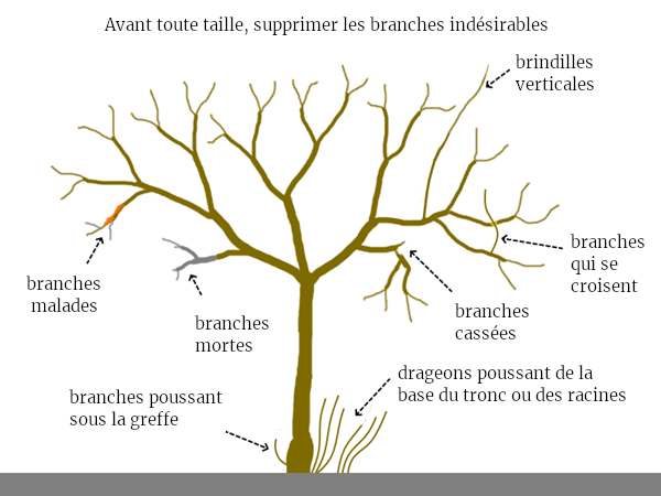 taille des fruitiers permaculture coupe