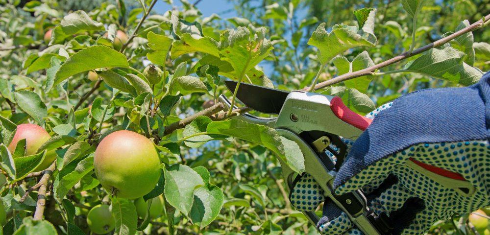 taille fruitier sécateur permaculture
